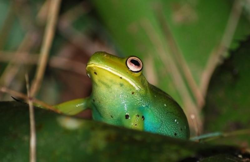 Связь серпинов с биливердином подарила лягушкам сине-зеленый окрас