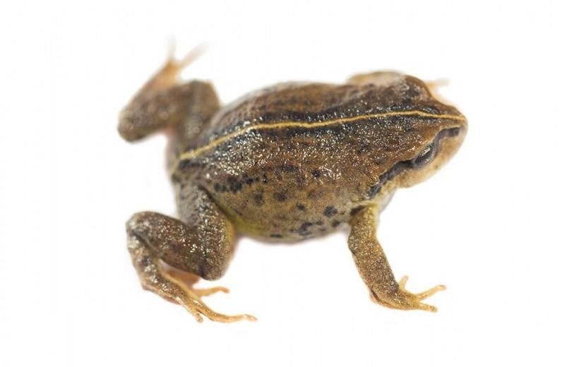 В Перу нашли новый вид лягушек, живущих вдали от водоемов