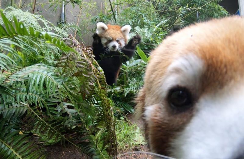 Детеныш малой панды нападает на маму из засады: видео
