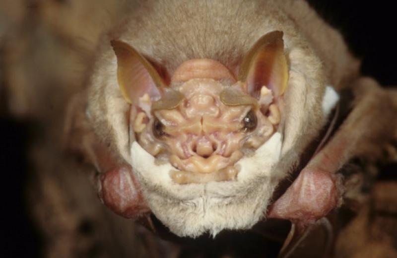 Самец складчатомордого листоноса приспустил маску на время спаривания