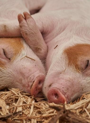 В хорошем ли настроении ваша свинья? Человек научился это понимать с точностью до 97%