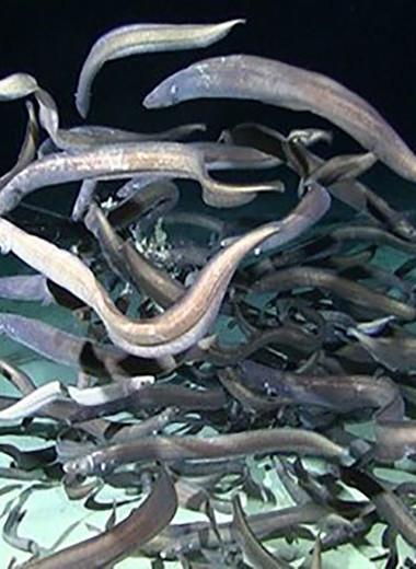 На дне Тихого океана обнаружили самое большое скопление угрей в истории наблюдений