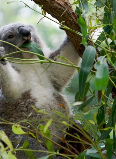 Как коалы могут есть ядовитый эвкалипт?