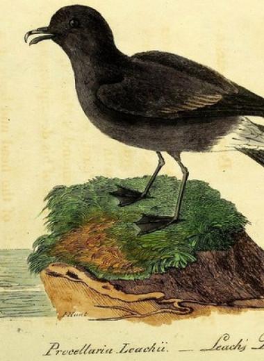 Колонизация островов Сен-Пьер и Микелон привела к упадку колонии качурок