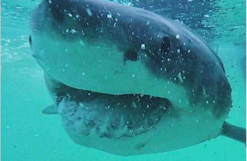 Чем питаются большие белые акулы: новое исследование