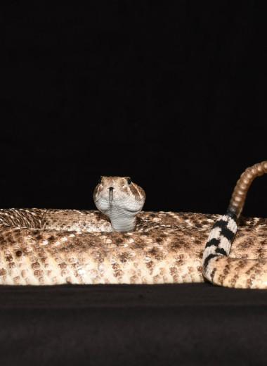 Как гремучие змеи сбивают с толку врагов?
