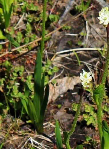 Растение из Северной Америки уличили в ловле насекомых цветочными стеблями