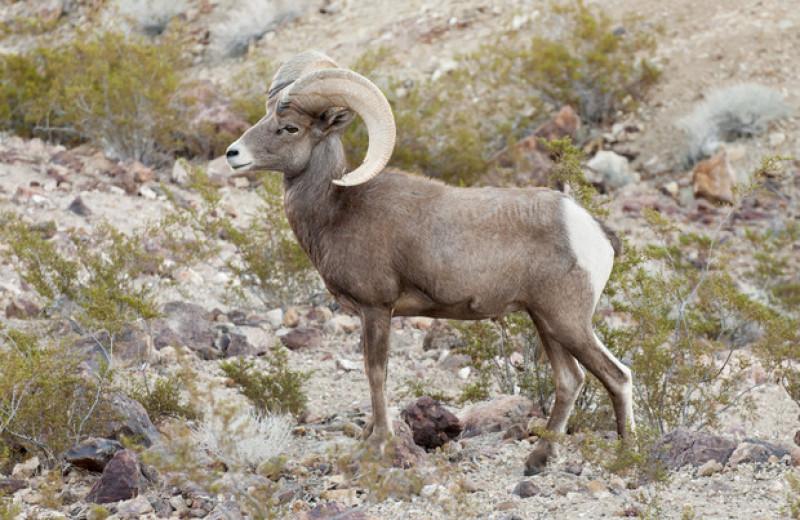 Толсторогие бараны из Долины Смерти и Большого каньона не испугались изменений климата