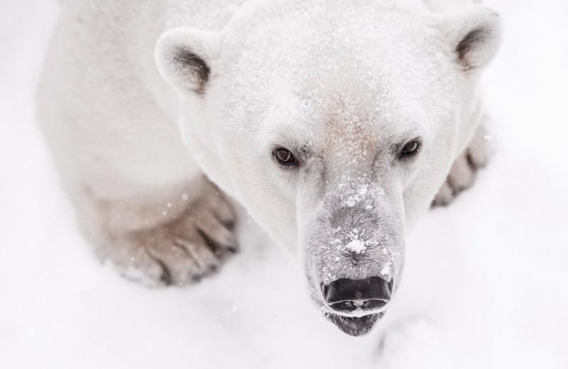Упитанные и не создающие особых угроз: в Якутии провели мониторинг белых медведей