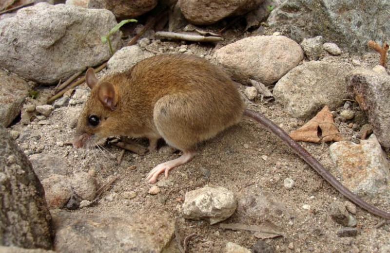 На Филиппинах нашли мышей, считавшихся вымершими из-за извержения вулкана