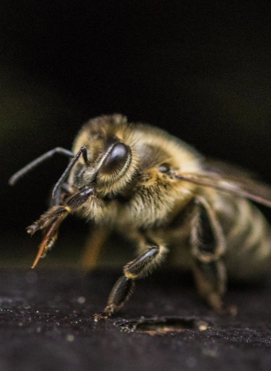 Спасители мира: 10 важных фактов о пчелах