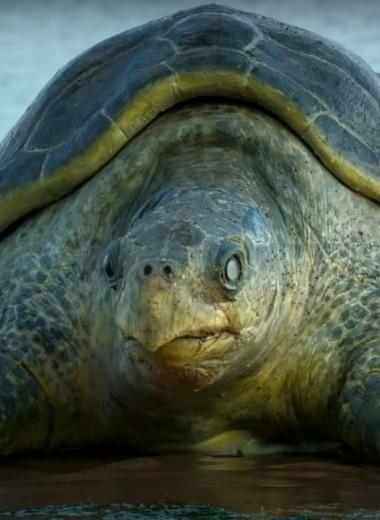 Робочерепаха подсматривает за гнездящимися сородичами: видео