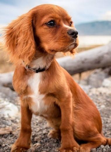 Самые дорогие породы собак вмире— отазавака дотибетского мастифа