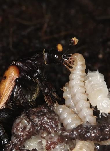 Секреты питания жука-могильщика: открытие энтомологов