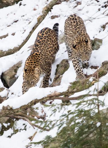 Два леопарда из Швеции прибыли в Россию