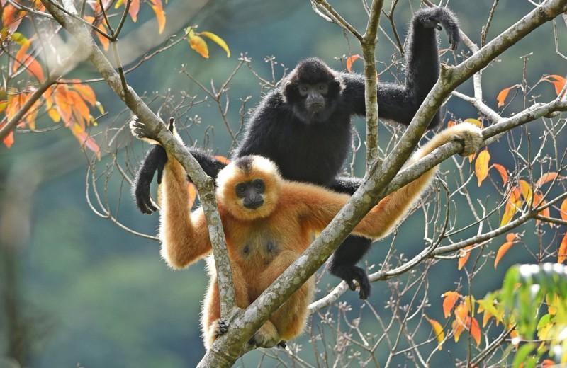 Редчайших в мире приматов обнаружили по зову любви