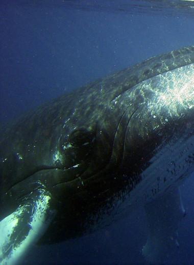 Горбатые киты служат биоиндикаторами ртутного загрязнения