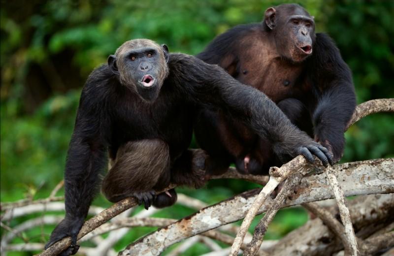 Дети и шимпанзе общаются одинаковыми жестами