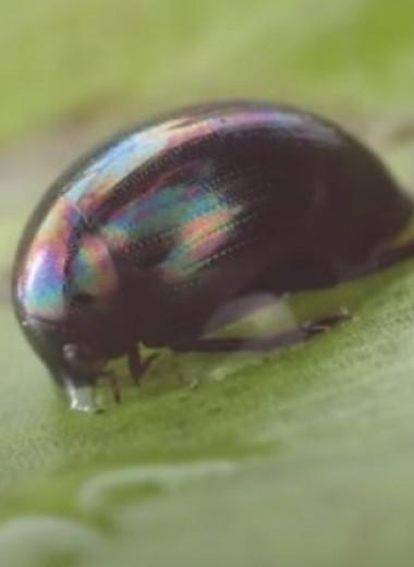В Японии нашли жука, умеющего вылезать из лягушек, будучи съеденным: видео