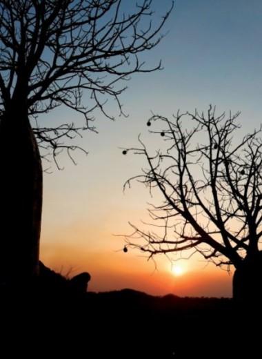 Австралийское царь-дерево: история баобаба