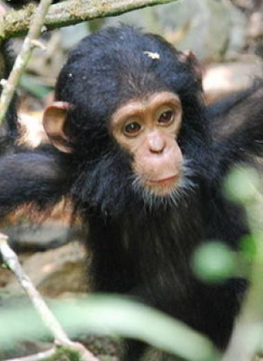 Микробиота шимпанзе оказалась устойчива к антибиотикам