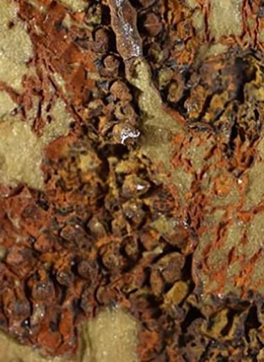 Найден древнейший прародитель морских звезд