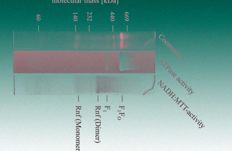 Биологи уличили анаэробные бактерии в клеточном дыхании с помощью Rnf-насоса