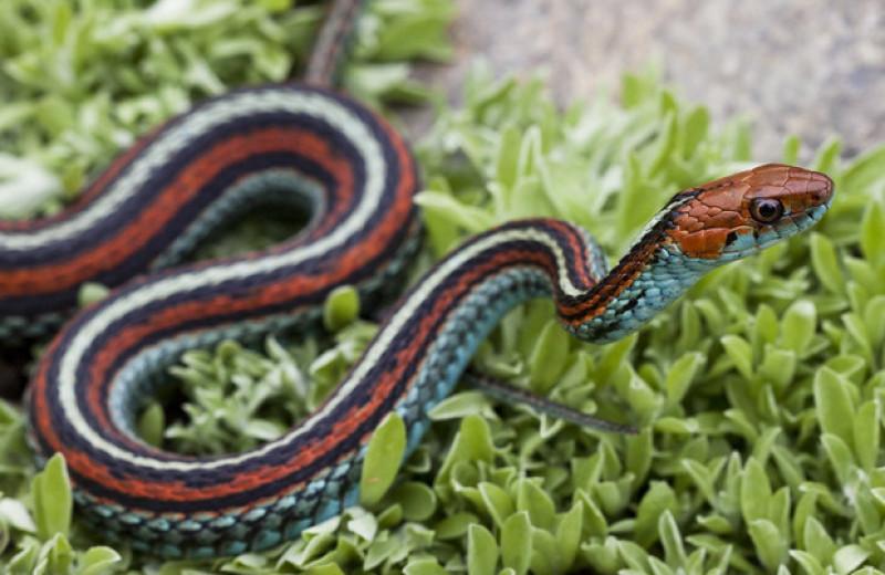 Аэропорт Сан-Франциско стал убежищем для 1300 редких змей