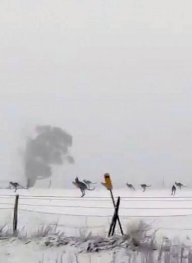 Кенгуру в снегу: необычная погода в Австралии