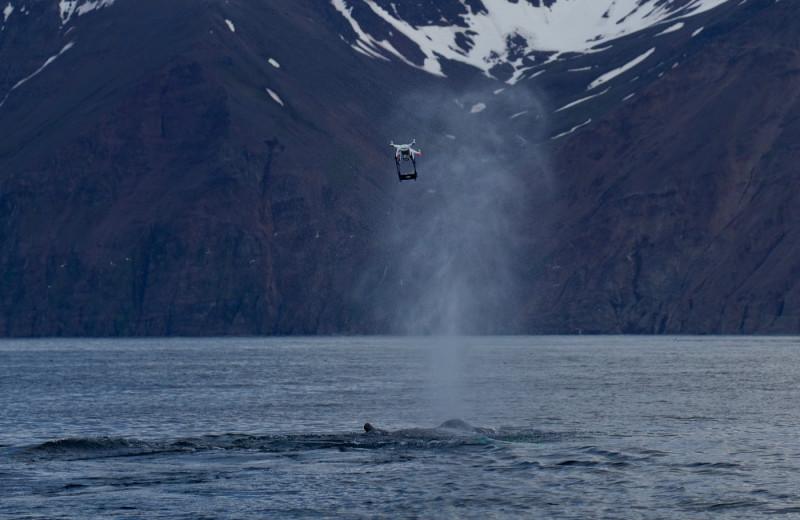 Зачем исландские экологи собирают дыхание кита