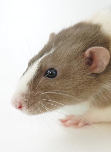 Наночастицы в моче мышей указали на рак и помогли определить его местоположение на ПЭТ