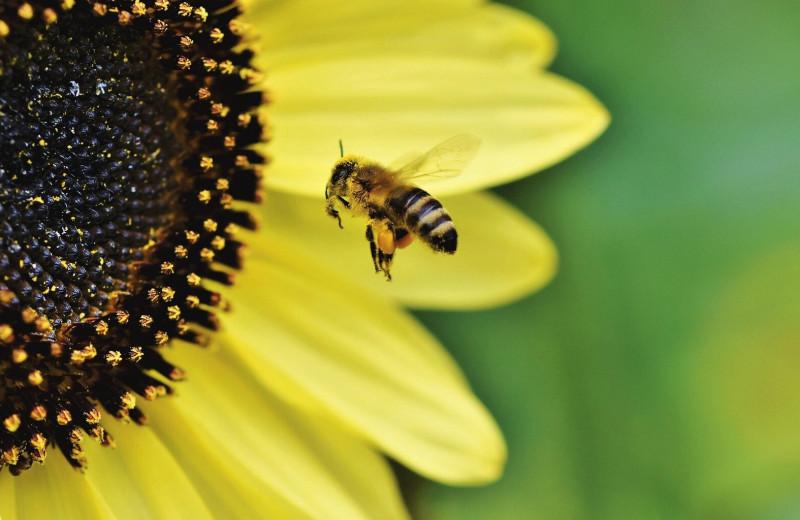 Синий мед, пчелиный McDonald's и еще 6 удивительных фактов о пчелах
