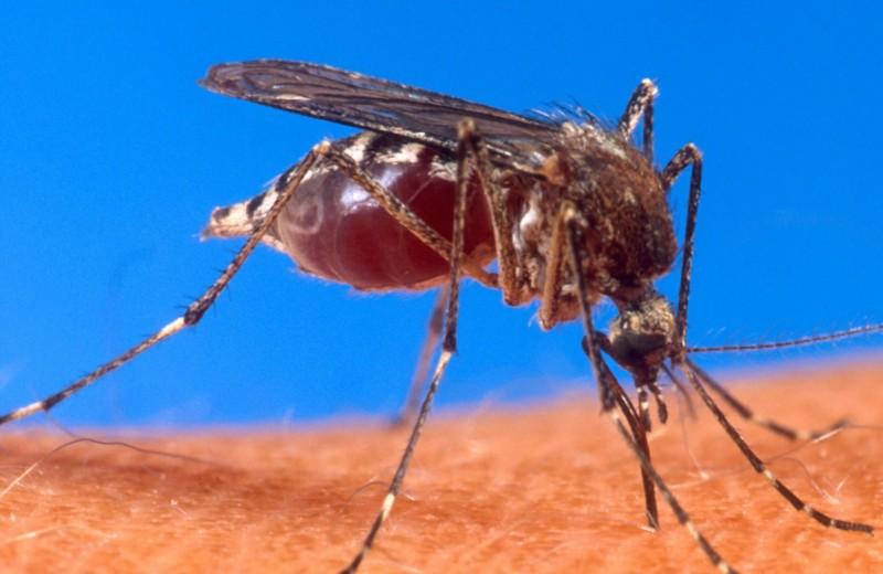 Кровный враг: почему укус комара так чешется