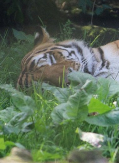 Развитие дорожной сети Азии стало главной угрозой для тигров