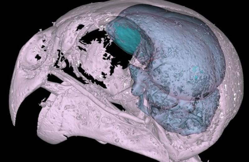 Зрение не спасло ночного попугая от заборов и машин