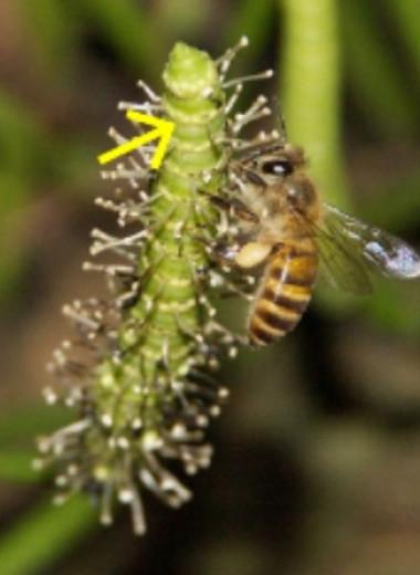 Китайские пчелы украли пыльцу голосеменного растения и снизили эффективность его опыления
