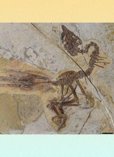 Палеонтологи описали энанциорниса с двумя удлиненными перьями в хвосте