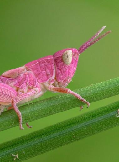 Загадка розовых кузнечиков