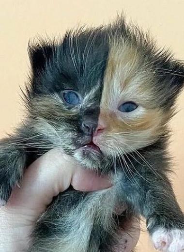 В США родился двуликий котёнок-химера: фото