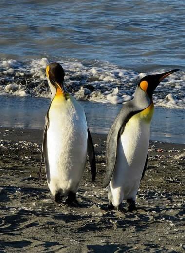 Современные пингвины произошли из Австралии и Новой Зеландии
