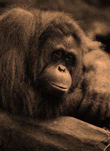 Орангутаны заразились зевотой от сородичей