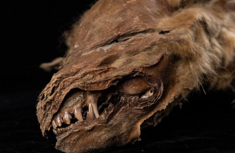 Мумию волчонка возрастом более 50000 лет обнаружили в канадской мерзлоте