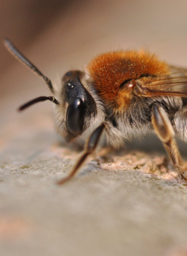 Четверть всех известных видов пчел не видели с 1980-х