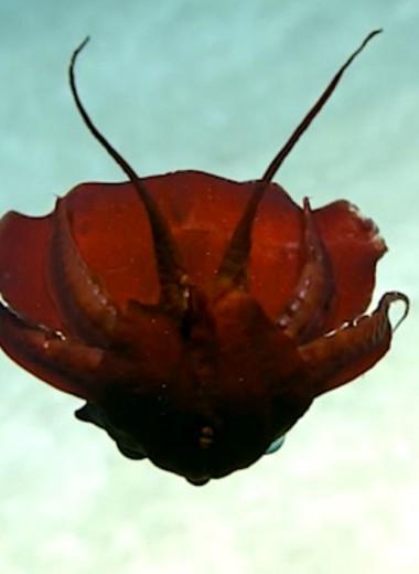 Красный скрюченный кальмар: находка в Мексиканском заливе
