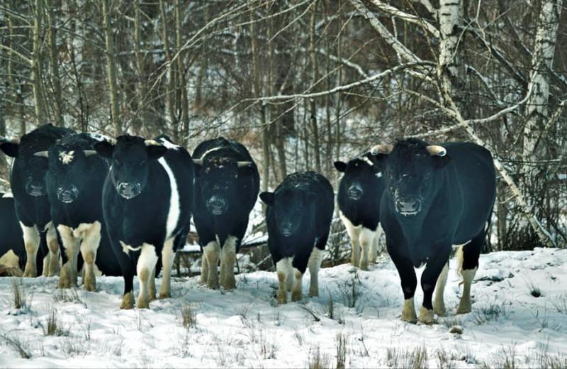 В Чернобыльской зоне отчуждения зимует стадо одичавших коров: фото