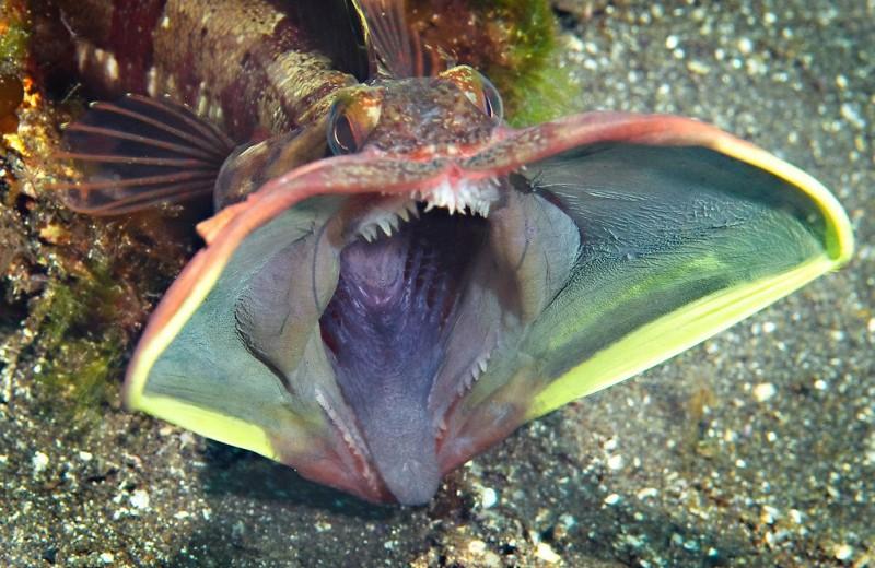 Морская щучья собачка: устрашающая рыба-агрессор