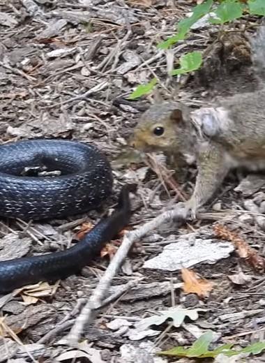 Отважная белка сражается со змеей: видео