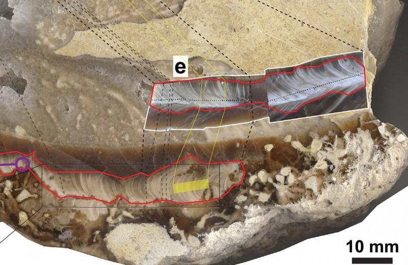 Ископаемый моллюск поведал о продолжительности суток в меловом периоде
