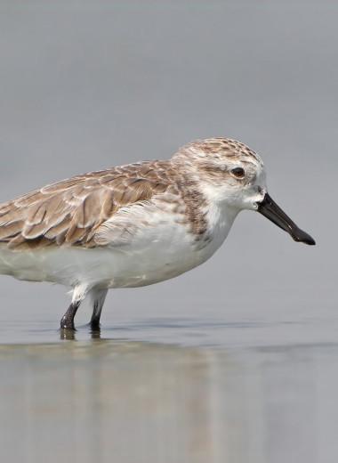 Арктика может стать экологической ловушкой для мигрирующих животных