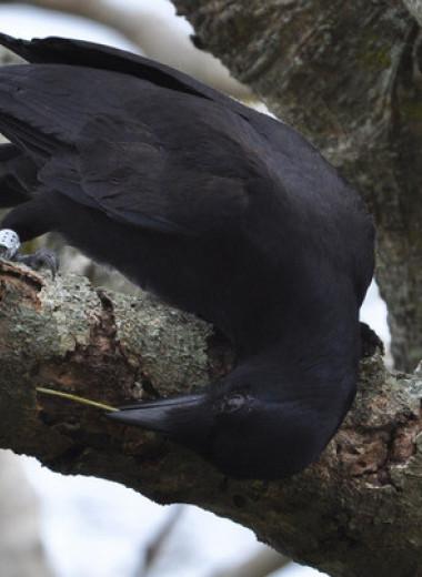 Генетический анализ инструментов новокаледонских воронов помог выявить их любимое дерево